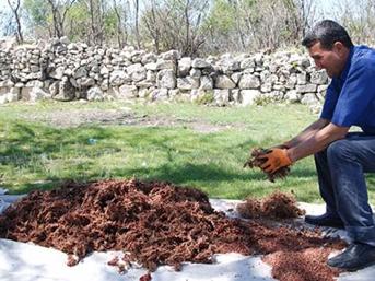 Köylünün yeni geçim kaynağı! Dağdan toplayıp kilosunu 20 liraya satıyorlar