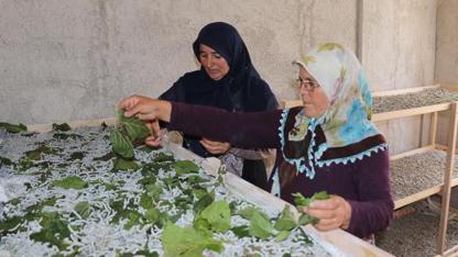 Samsun'da ev kadınları Aynur Pak ve Fatma Bayrak, 19 Mayıs İlçesi Gıda Tarım ve Hayvancılık İl Müdürlüğü'nün desteğiyle ipek böceği üretemine başladı.