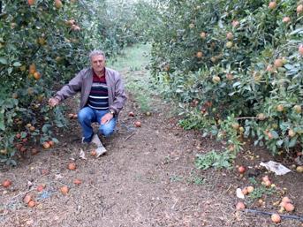 250 bin elma ağacı sökülüp odun yapılacak