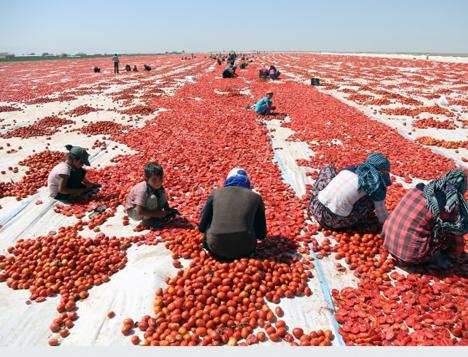Kurutulan Türk domatesleri Avrupa mutfağında