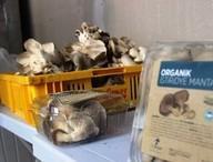 Çanakkale'de sertifikalı organik mantar üretiliyor
