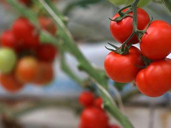 5 soruda ekonomik tartışmaların odağındaki domates