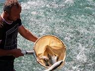 Torul ve Kürtün barajlarından Japonya'ya balık ihracatı