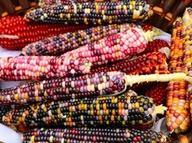 Renkli mısır tohumlarını ABD'den getirerek üretime başladı