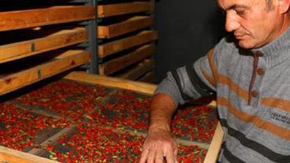 """Aksaray'da Hasandağı'nın eteğindeki köyde iş stresinden uzaklaşmak için hobi amacıyla goji berry yetiştiren iki kardeş, Türkiye'nin birçok yerinden gelen talebe yetişmekte zorlanıyor. Mehmet Çekil. """"Bu yıl 3,5 goji berry hasat ettik. Geçen yıl bu sayı 1,5 ton civarındaydı. Şu an elimizdeki ürün talebe yetmiyor"""" dedi."""