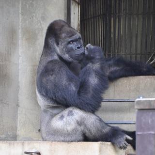 Yakışıklı gorile ziyaretçi akını