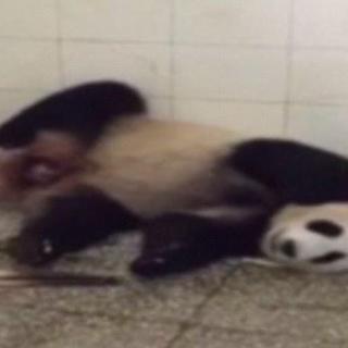 Pandanın doğum anı böyle görüntülendi