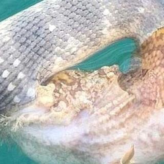 Deniz yılanı ile taş balığı birbirini zehirledi