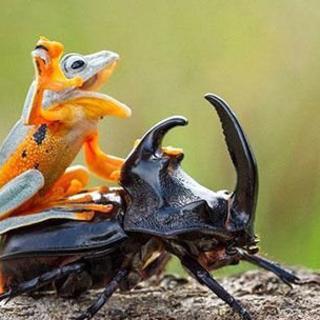 Dünyanın en keyifli kurbağası