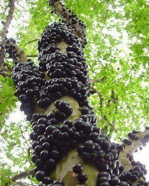 Gövdesinden meyve fışkıran ağaç