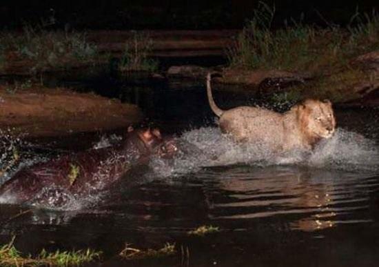 Köpek koyunu uçurumdan attı