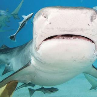 Köpek balıklarının bilinmeyen dünyası!