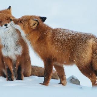 Hayvanlar da aşık oluyor