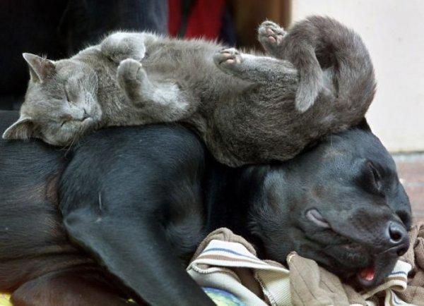 Köpekleri yastık gibi kullanan kediler