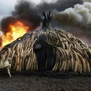 Tonlarca fildişi yakılarak imha edildi
