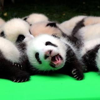 Yeni doğan 23 panda görücüye çıktı