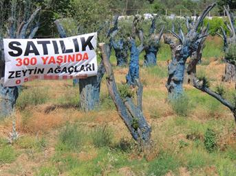 300 yıllık zeytin ağaçları 5 bin liraya alıcı buluyor