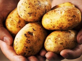Patatesi hastalık vurdu!