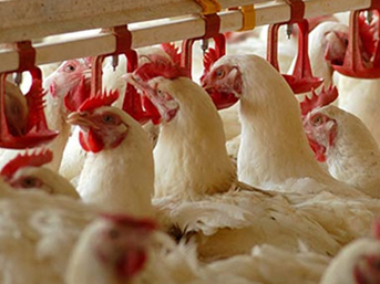 Rusya, Türkiye'den beyaz et ithalatı yasağını kaldırdı