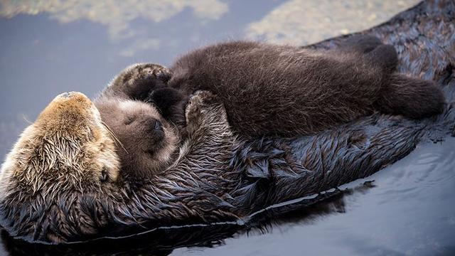 Annesinin kucağında uykuya dalan su samuru